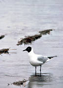 animals, birds, black-headed gull, gulls, sea mews, wades