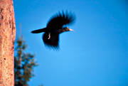 animals, birds, black woodpecker, fly, woodpecker, woodpeckers