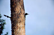 animals, birds, black woodpecker, nesting, picinae, pine, woodpeckers