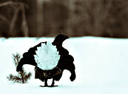 animals, bird, birds, black grouse, black-and-white, blackcock, dancing black grouses, forest bird, forest poultry