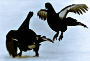 animals, birds, black grouse, black-and-white, blackcock, dancing black grouses, forest bird, forest poultry
