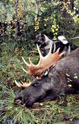 brought down, bull, elkhound, hunting, hunting moose, male moose, moose, moose hunting, ox, älgoxe
