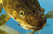 animals, burbot, fish, lake, underwater picture