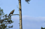 animals, bird, bird of prey, birds, buteonine, pine, raptors