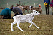 animals, calf tagging, culture, mammals, mountain, reindeer, reindeer, reindeer calf, reindeer husbandry, sami culture, white, work