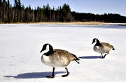 animals, birds, canada goose, geese, goose, ice, spring ice