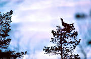 animals, bird, birds, capercaillie, capercaillie cock, forest bird, forest poultry, top