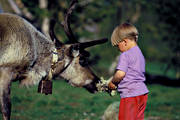 children, culture, fed, feed, feeding, food, outdoor life, reindeer, reindeer moss, sami culture, summer, wild-life, äventyr