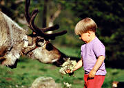 children, culture, feeds, outdoor life, reindeer, reindeer moss, sami culture, summer, wild-life, äventyr
