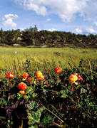 berries, berry picking, biotope, biotopes, bog soil, cloudberry, cloudberry, cloudberry picking, golden, golden yellow, mire, mountain, mountain marsh, alpine marsh, mountains, nature, summer, wild-life, äventyr