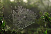 alpine birch, animals, biotope, biotopes, birch leaf, cobweb, green, greenery, leaf, mountain, nature, seasons, spiders