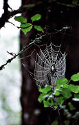 animals, cobweb, european garden spider, net, spider, spiders