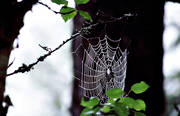 animals, cobweb, european garden spider, spider, spiders