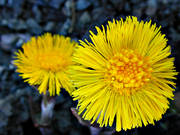 biotope, biotopes, close-up, colt's-foot, coltsfoot, flower, flowers, meadowland, meadows, nature, spring, spring flower, äng