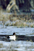 animals, birds, common goldeneye, duck, ducks, flake of ice, spring