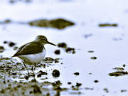 animals, birds, black-and-white, common sandpiper, wading birds
