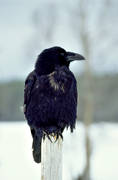 animals, birds, corbie, raven, corvids