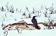 accident wild animal, animals, birds, cadavers, carrion, corbie, raven, corvids, predator, reindeer carrion
