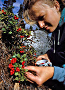 berries, berry picking, cowberry, cowberry picking, girl, pick, summer, woodland, äventyr