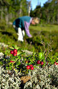 berries, berry harvest, berry picking, cowberry, cowberry picking, summer, äventyr