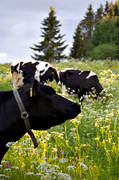 animals, be in country, cow, cows, cows, ko, mammals, meadowland, pasturage, pets, äng