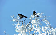animals, birds, corvids, crow, crows, tree