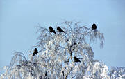 animals, birds, corvids, crow, crows, herd, tree