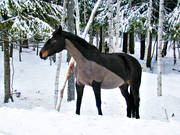 animals, cold, cut, figure cut, freeze, horse, horses, mammals, naked, nude, pets, shaven, winter