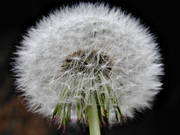 ball, biotope, biotopes, dandelion, dandelion ball, meadowland, meadows, nature, seeding, seeds, äng
