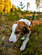 animals, dog, dog location equipment, dog searcher, drever, drevjakt, hunting, hunting dog, mammals, roedeer hunting