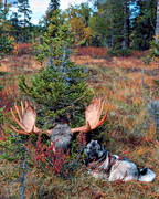 elk dog, elkhound, guards, hunting, hunting moose, moose head, elk head, moose hunting
