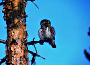 animals, birds, eurasian pygmy owl, owl, owls