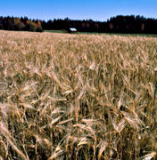 agriculture, barleycorn, corn, grains, crop land, cultivated land, cultivation, field of barley corn, varley field, grainfield, ripe, work