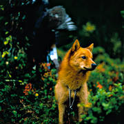 animals, barking bird dog, barking bird dog, bird hunting, capercaillie, capercaillie cock, capercaillie hunt, dog, dogs, finnish spitz, finnish spitz, hunting, mammals, rödsupp, öga*