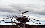 animals, bird, bird of prey, birds, osprey, raptors