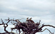 animals, birds, nest, nest tree, osprey, osprey's nest, ospreys, raptors