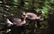 animals, birds, geese, goose, lesser white-fronted goose, swimming