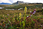 alpine flower, alpine flowers, biotope, biotopes, fjällväxt, fjällväxter, fjällyxne, flower, flowers, mountain, mountain nature, mountains, nature, orchid, orchids, Padjelanta, vippvedel