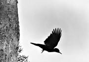 animals, birds, black woodpecker, black-and-white, fly, flying, piciformes, woodpecker, woodpeckers