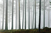 autumn, fog, Herjedalen, landscapes, season, seasons, tree, tree trunks