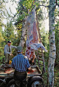 elk meat, elk slaughter, forest slaughter, forest butchery, friends, hunter, hunting, hunting companion, hunting companions, hunting moose, hunting success, hunting joy, meat, moose, moose hunting, slaughter, suspended, viltkött