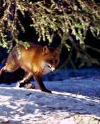 animals, fox, fox, fur, mammals, red fox, snow, winter, winter fur, woodland