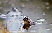 amphibians, animals, frog, frog mating, frogs