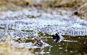 amphibians, animals, frog, frog mating, frog-spawn, game, spawn