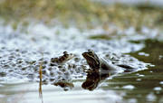 amphibians, animals, batrachian egg, frog, frog mating, frogs