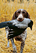 apport, crow, crow hunting, dog, german shorthaired pointer, hunting, kråkfågel
