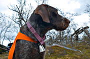 alpine hunting, animals, bell, bird dog, dog, dogs, german shorthaired pointer, hunting, mammals, pointing dog, white grouse hunt
