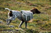 animals, bird dog, booth, carry, dog, dogs, german shorthaired pointer, hunting dog, klövja, klövjeväskor, mammals