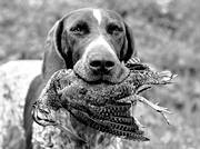 apport, apport, german shorthaired pointer, hunting, woodcock, woodcock hunting