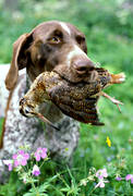 apport, bird dog, german shorthaired pointer, hunting, woodcock, woodcock hunting